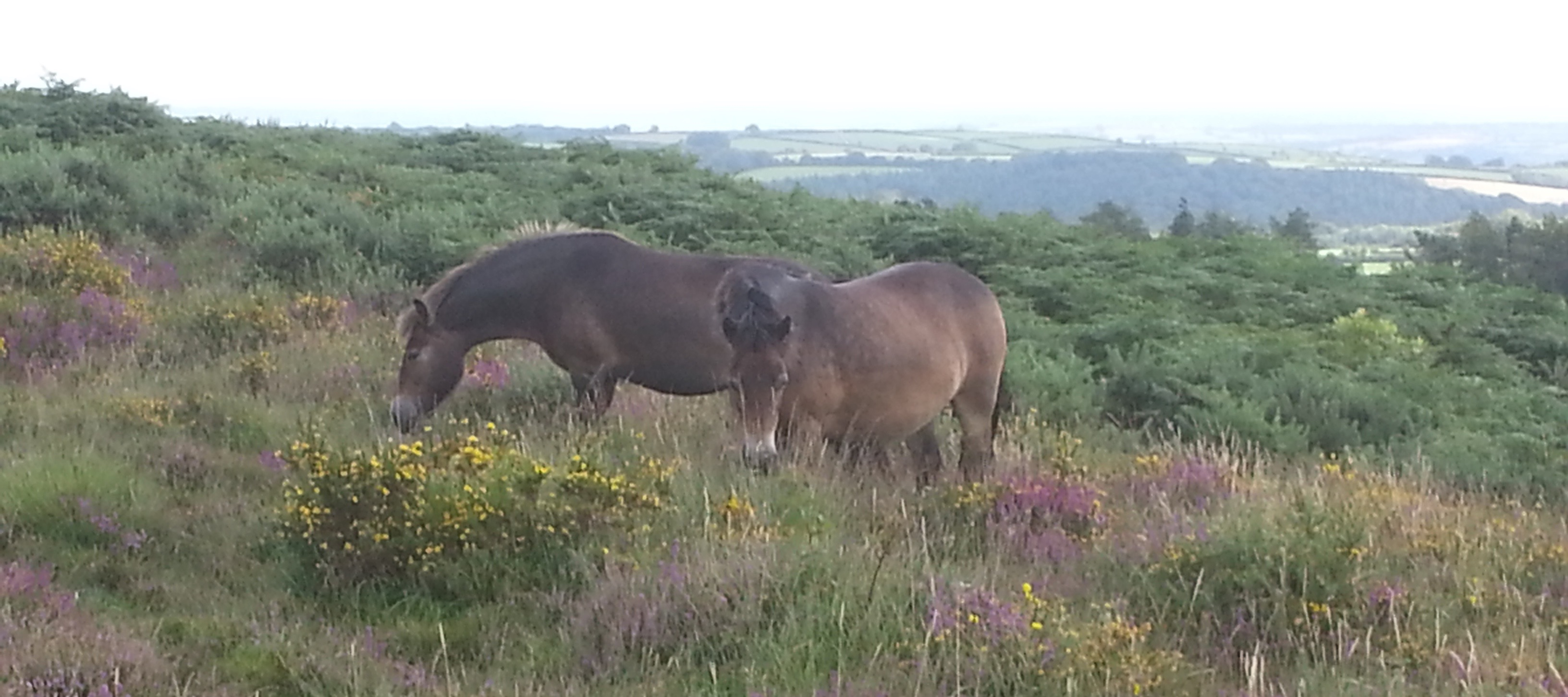 Exmoor Pony slider