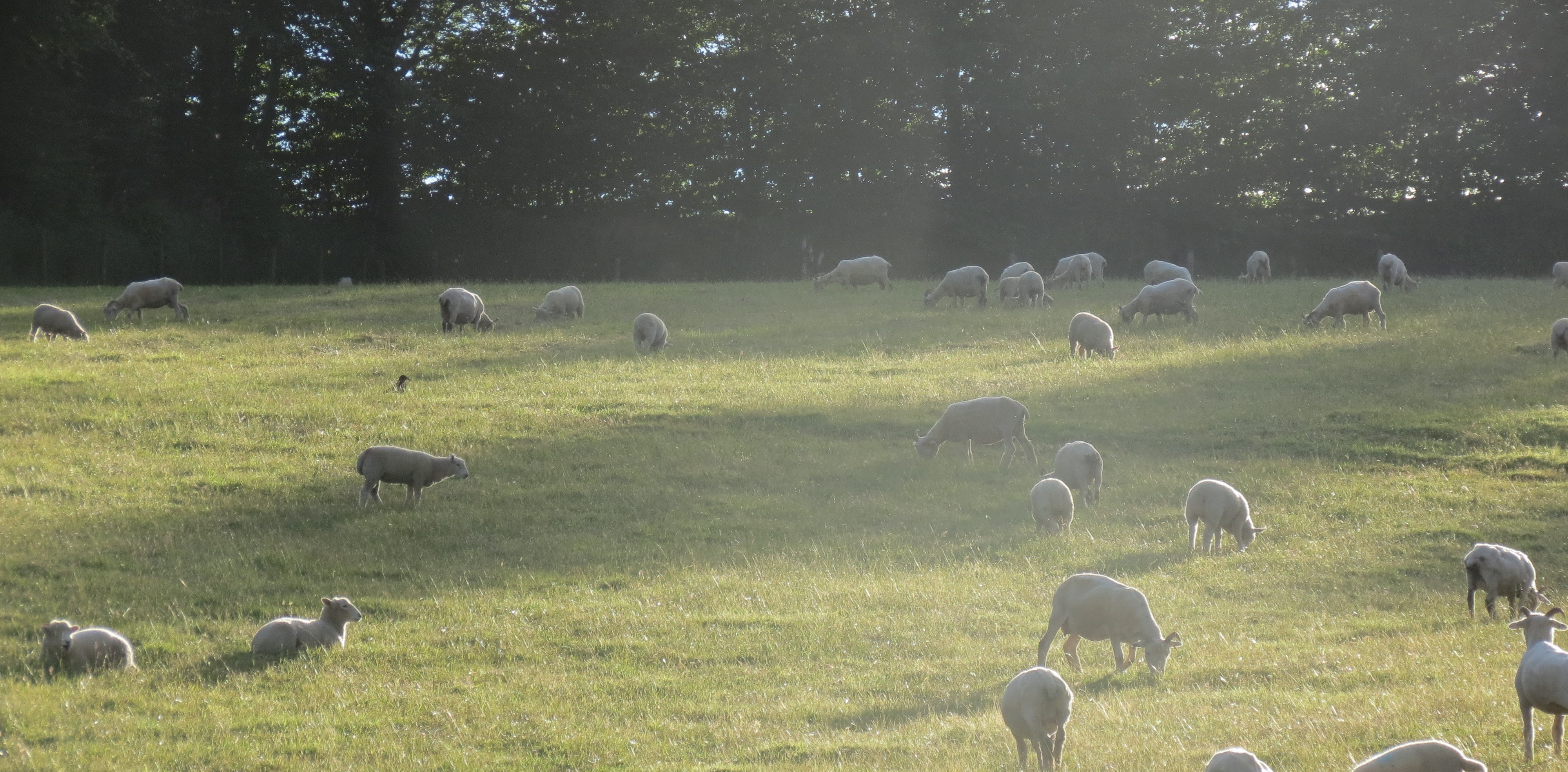 Top Field Sheep - slider
